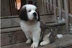 Picture of CKC female Saint Bernard puppy