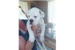 Picture of IOEBA Olde English Bulldogge Puppy male
