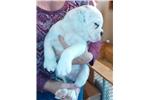 Picture of IOEBA Olde English Bulldogge Puppy