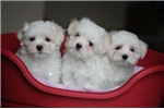 Picture of Minnie - Tiny Toy Maltese Puppy