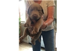Picture of AKC silver lab