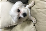 Picture of 8 Month Old Maltese Looking did a New Home!