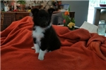 Picture of Black and White Female Puppy