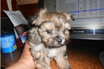 Picture of Morkie male