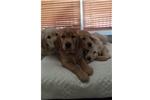 Picture of Golden retriever puppy