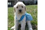Picture of Lexy-Adorable Goldendoodle Female