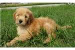 Picture of Rex-Adorable Goldendoodle Male