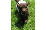 Picture of Avery-Adorable Chocolate Goldendoodle Female