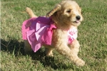 Picture of Macy-Adorable Goldendoodle Female