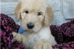 Picture of Camo-Adorable Goldendoodle Male