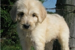 Picture of Bo-Adorable Goldendoodle Male