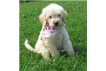 Picture of Dusty-Adorable Goldendoodle Male