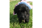 Picture of Bella-Adorable Goldendoodle Female