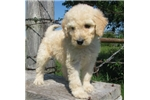 Picture of Lady-Adorable Goldendoodle Female