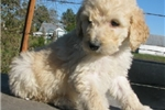Picture of Cubby-Adorable Goldendoodle Male