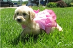 Picture of Angel-Adorable Goldendoodle Female