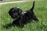 Picture of Sophie-Adorable Goldendoodle Female