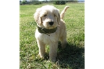 Picture of Austin-Adorable Goldendoodle Male