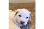 Picture of Goldendoodle/Pit mix Puppy