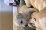 Picture of Goldendoodle/Pit mix Puppies