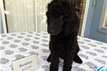 Poodle, Standard for sale