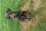 Picture of Doberman puppy
