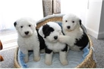 Picture of  Potty Trained Old English Sheepdog Puppies