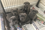Picture of Blue Stafforsdhire Bull Terrier Pup
