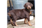 Picture of AKC Registered Male Red/Tan