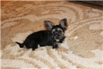 Picture of Faith..Yorkie-Chin.Beautiful !!