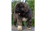Picture of Caucasian Ovcharka puppy
