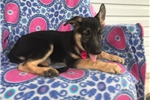 Picture of AKC Sarah