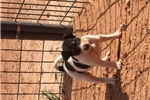 Picture of Standard Sized Rat Terrier Puppy