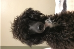 Picture of Minature poodle