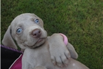 Picture of Beautiful Silver Weimaraner puppies born 6/10/17