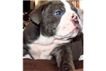 Picture of English Bulldog Puppy