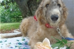 Russian Wolfhound for sale
