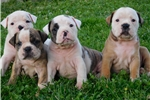 Picture of Olde English Bulldogge Puppies
