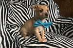 Picture of 7 Week Male Blue Heeler Mix