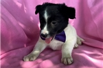 Picture of Blossom - 7 Week Male Blue Heeler Mix