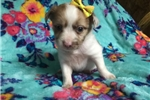 Picture of Furry - 5 Week Old Female Chihuahua
