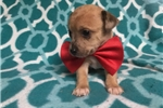 Picture of Chip - 5 Week Old Male Chihuahua