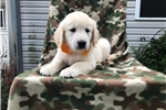Picture of Kai - 10 Week Old Male Golden Retriever