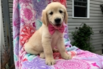 Picture of Kelly - 10 Week Old Female Golden Retriever