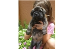 Picture of Brindle boy yellow collar