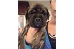 Brindle boy orange collar | Puppy at 7 weeks of age for sale