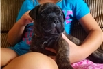 Picture of Brindle boy blue collar