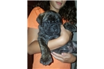 Brindle boy tan collar | Puppy at 7 weeks of age for sale
