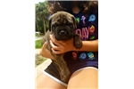 Picture of Brindle boy tan collar