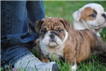 Picture of Champion sired English Bulldog Male Puppy